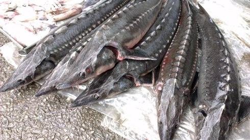 Thận trọng khi ăn cá tầm Trung Quốc | baotintuc.vn