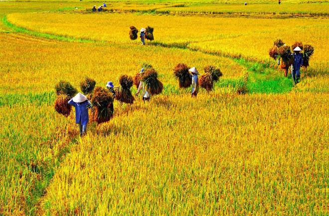 Mùa gặt   baotintuc.vn
