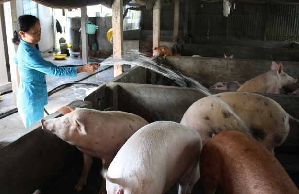 Xốc lại ngành chăn nuôi lợn | baotintuc.vn