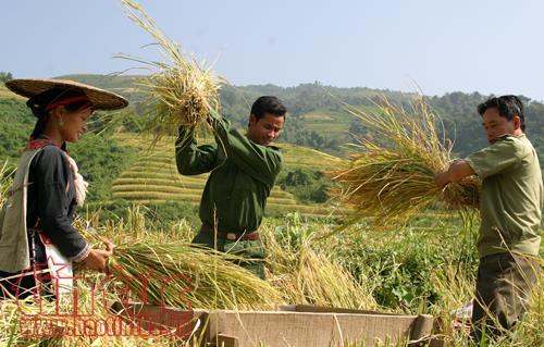 Mùa Gặt Biên Cương, Các Chiến Sĩ Biên Phòng Giúp Dân Gặt Lúa Cho Kịp Mùa Vụ.