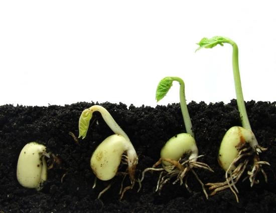 Phát hiện mới của giới khoa học Anh: Hạt giống cũng có 'não bộ'