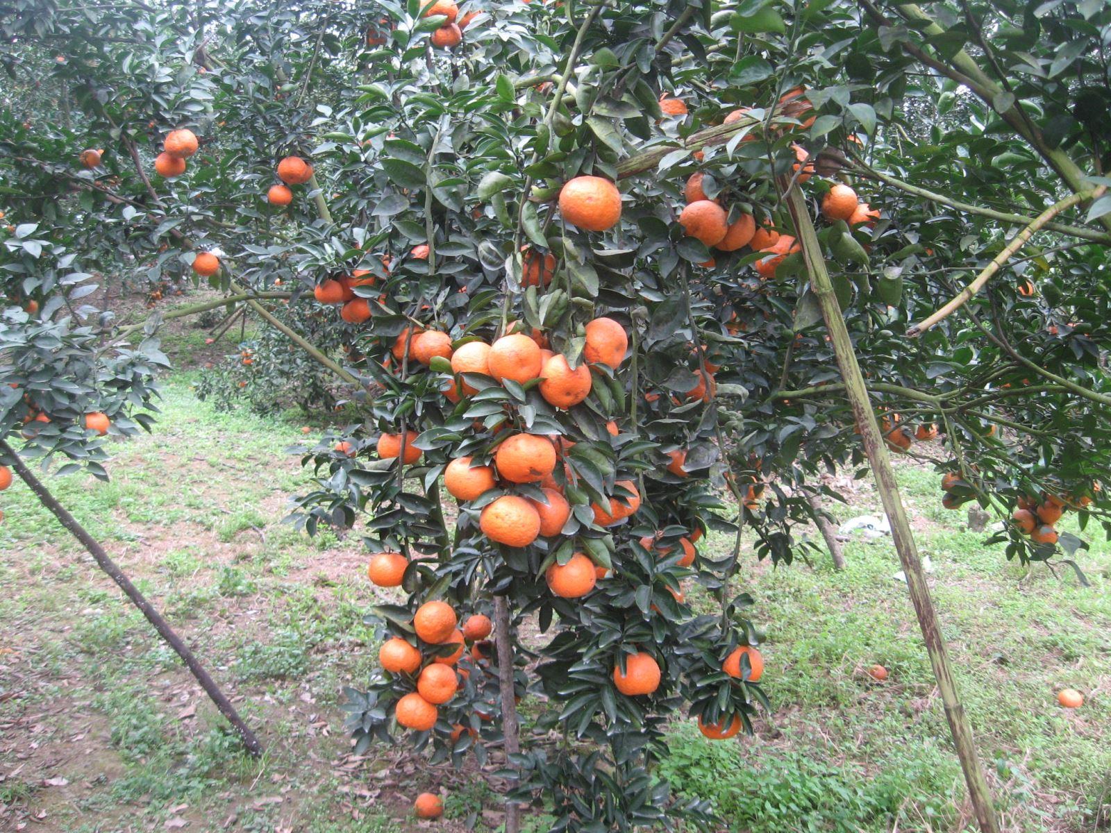 Kết quả hình ảnh cho kỹ thuật trồng cam sành  núi ba vì