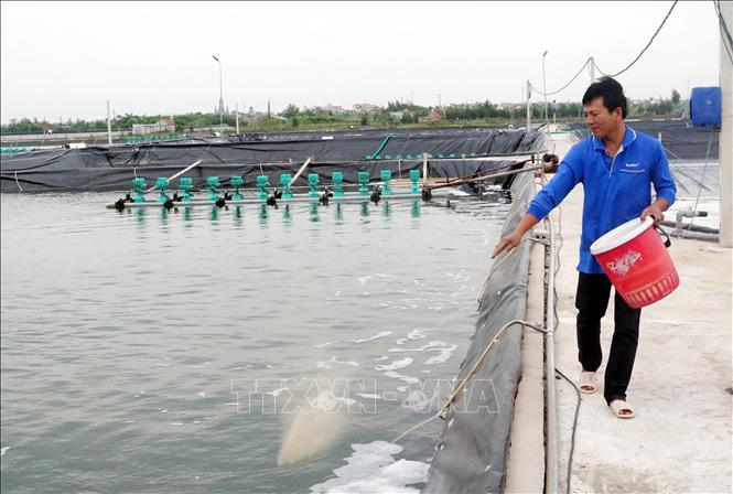 Anh Nguyễn Ngọc Minh, thôn Tây Bình, xã Hải Triều, huyện Hải Hậu (Nam Định) chăm sóc tôm.
