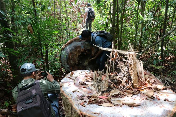 Vụ ᴘʜá rừng phòng hộ ở Quảng Ngãi: Kiểm điểm trách nhiệm lãnh đạo và kiểm lâm viên