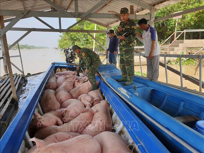 Bắt quả tang vụ vận chuyển trái phép 1,8 tấn lợn từ Campuchia về Việt Nam