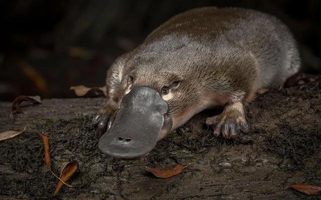 Loài thú mỏ vịt độc đáo ở Australia bên bờ tuyệt chủng