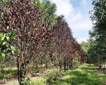 Trên 700 ha rừng trồng tại Tây Ninh bị thiệt hại do nắng hạn kéo dài