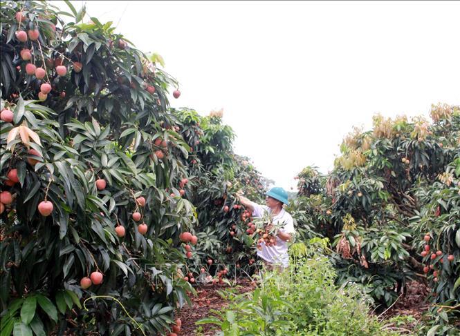 Đoàn chuyên gia Nhật Bản sang Việt Nam kiểm tra các lô vải tươi xuất khẩu