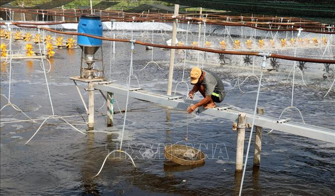 Kiên Giang thiệt hại hơn 1.800 ha tôm nuôi