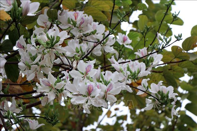 Tháng Ba, giới thiệu vẻ đẹp của hoa ban trong chuỗi hoạt động ''Mùa xuân nho nhỏ''