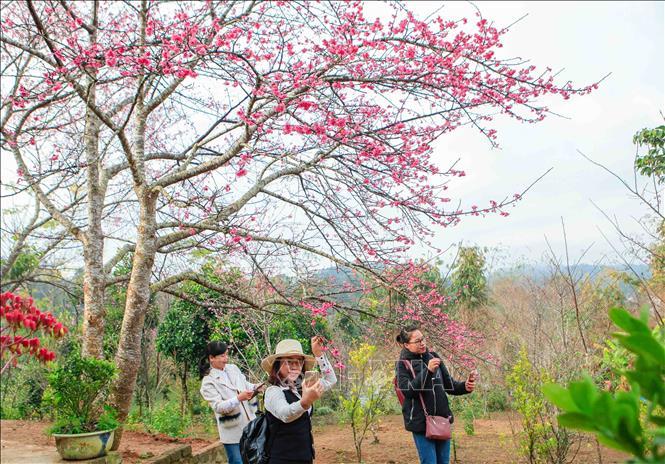 Du khách thích thú chụp ảnh với hoa anh đào. Ảnh: Xuân Tư/TTXVN