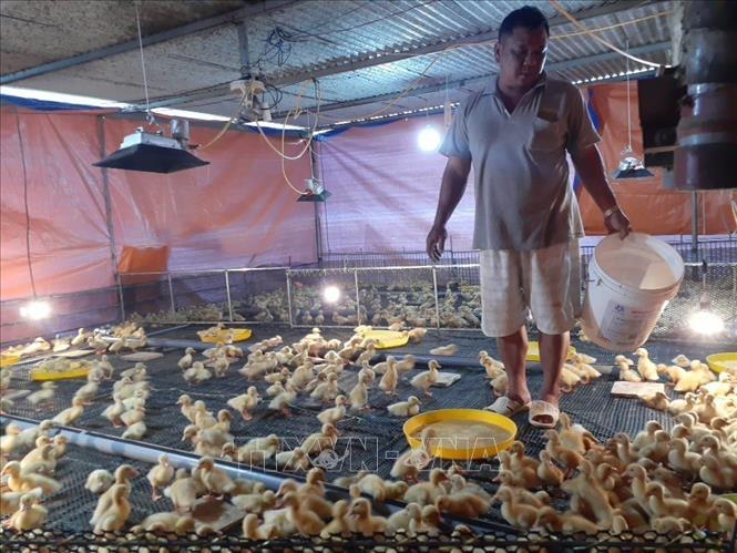 Chuyển đổi chăn nuôi trong ''bão'' dịch tả lợn châu Phi