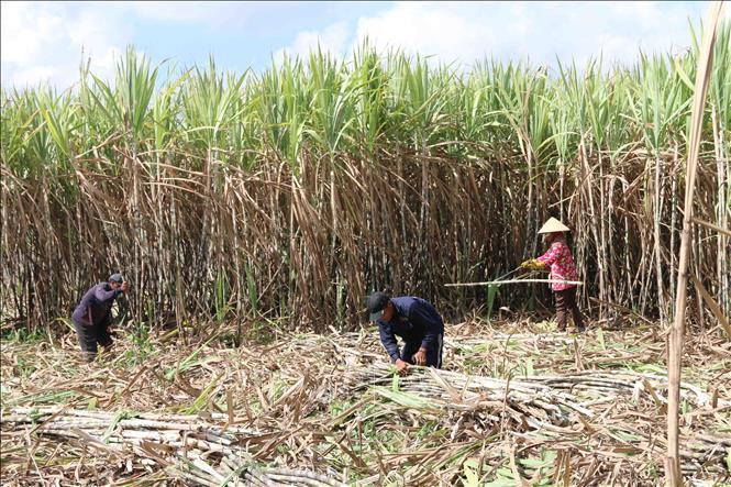 Triển khai giải pháp phát triển ngành mía đường trong...