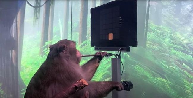 Khỉ được cấy chip vào não chơi điện tử điêu luyện