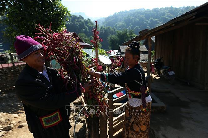 Hoa Mào gà là lễ vật không thể thiếu trong lễ Mền Lóong Phạt Ái của đồng bào dân tộc Cống. Ảnh: Phan Tuấn Anh/TTXVN