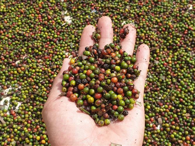 58 container hồ tiêu xuất khẩu mắc kẹt ở Nepalvà biên giới Nepal - Ấn Độ