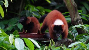 Ca song sinh vượn cáo cổ khoang đỏ quý hiếm tại Singapore