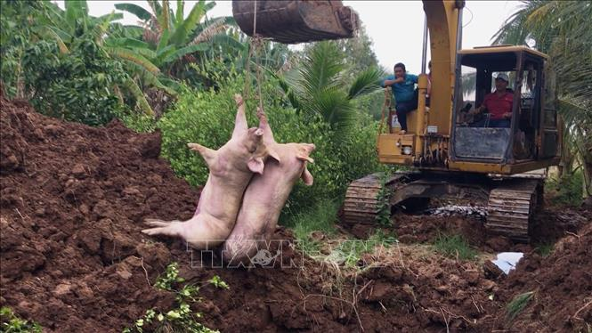 Liên tiếp bắt giữ lợn nhập lậu từ Campuchia vào Việt Nam